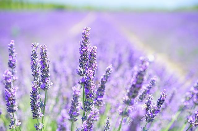 lavender-blossom-1595581_640