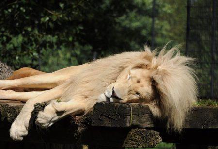 lion-1982580_640