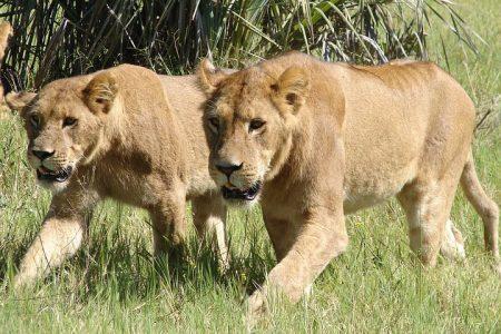 lions-2936628__480