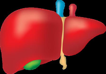 liver-2934612_640