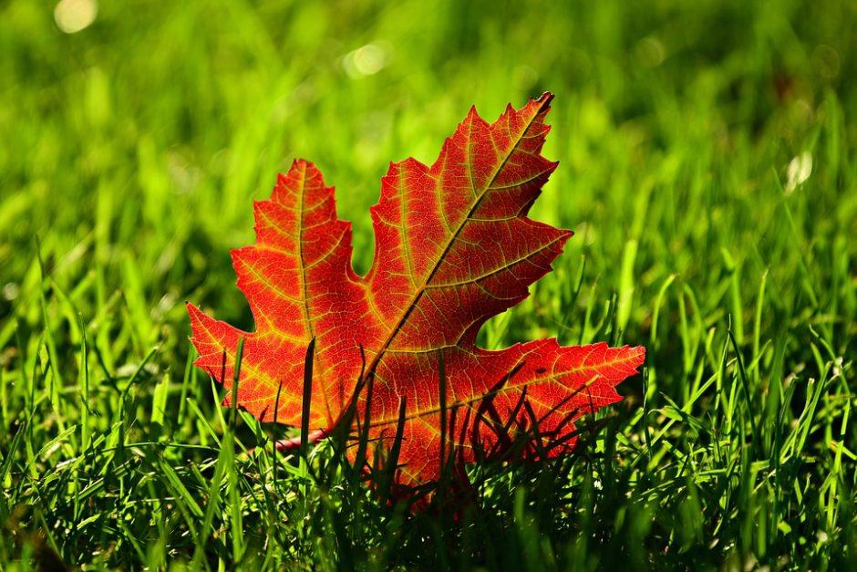 maple-leaf-3680684_960_720