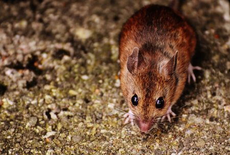 mouse-1733267_640