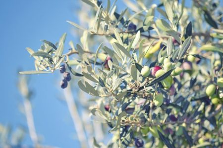 olive-1919865__480