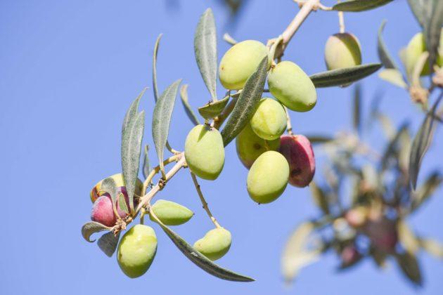 olive-1925256_960_720
