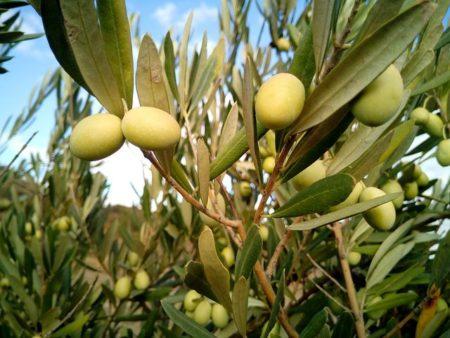 olive-trees-1126320__480