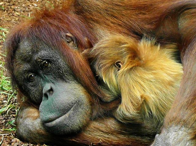 orangutan-498533_640