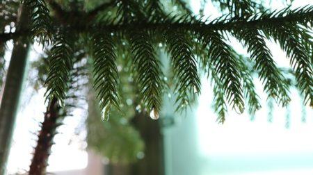 pine-2693466_640