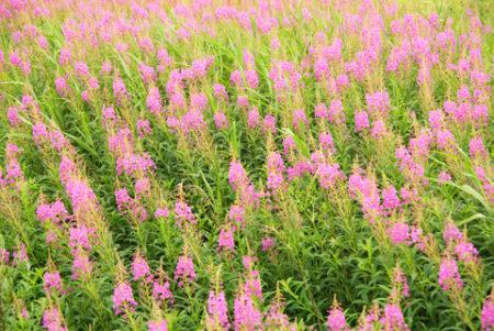 pink-flower-field