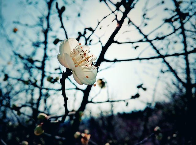 plum-blossom-2080487_640