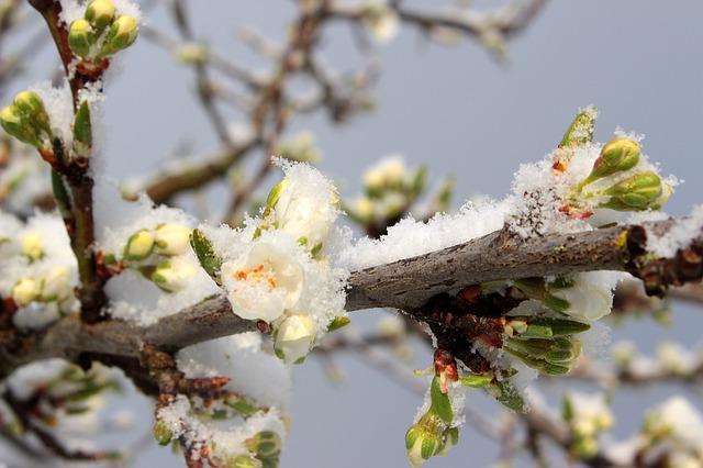 plum-tree-1350510_640