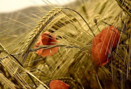poppy-3277871_640