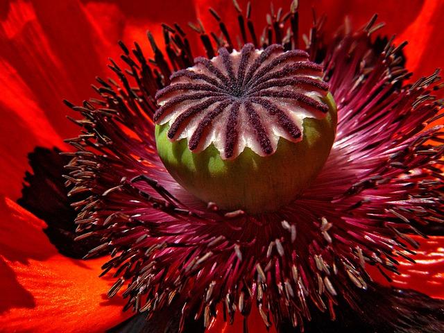 poppy-794937_640
