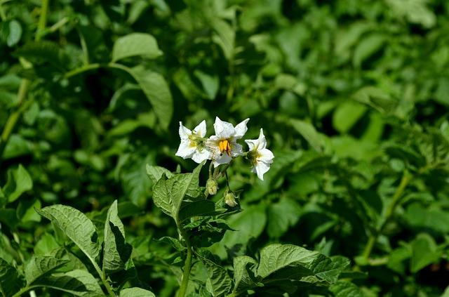 potato-plant-2580910_640