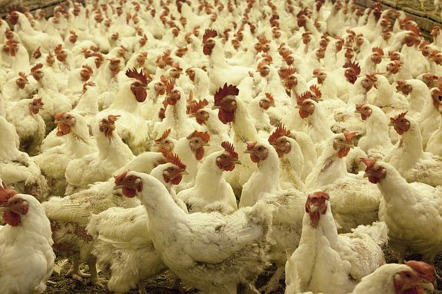 poultry-farm-1544654_640