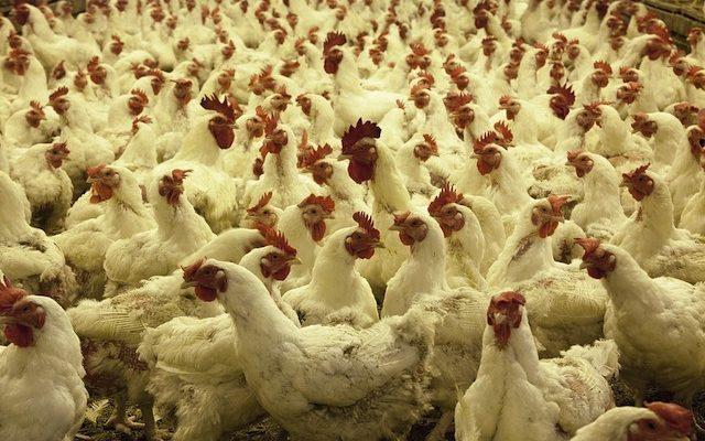 poultry-farm-1544654_960_720