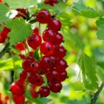 red-currant-1508506_640