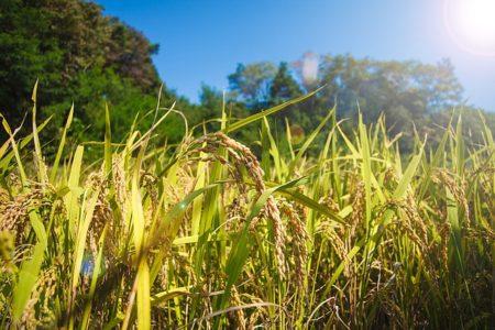 rice-1121001_640