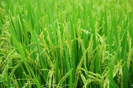 rice-in-vietnam-1491868_640