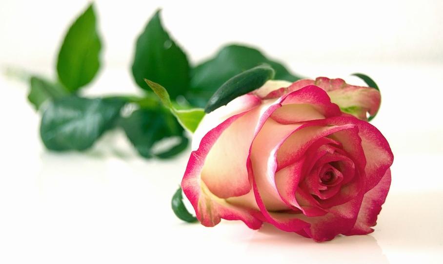 rose-301406_960_720