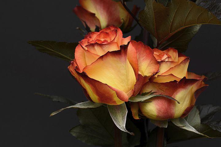 rose-3063284__480