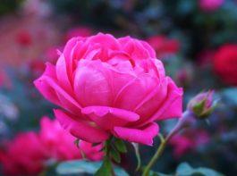 rose11 (2)