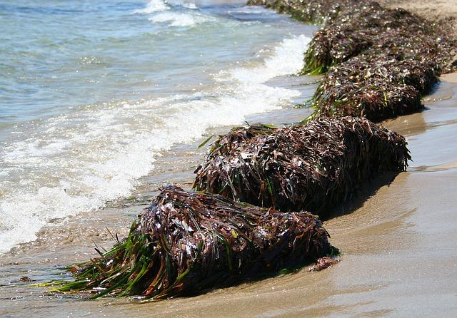 seaweed-1529019_640