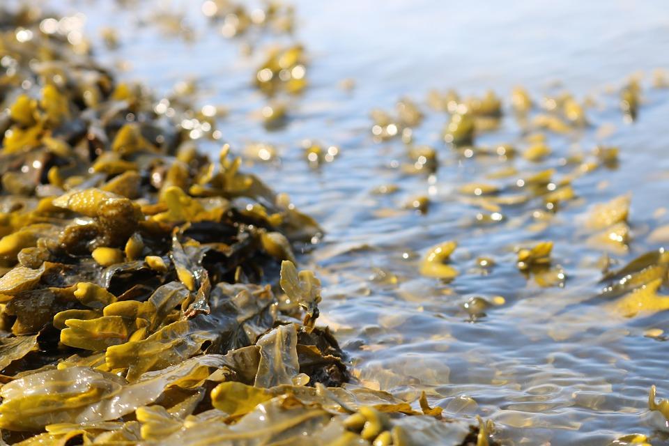 seaweed-3524238_960_720