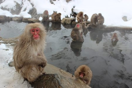 snow-monkeys-1394883_640