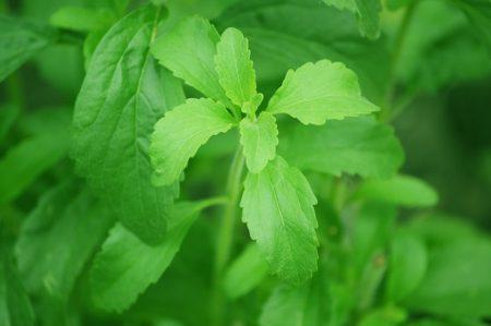 stevia-74187_640
