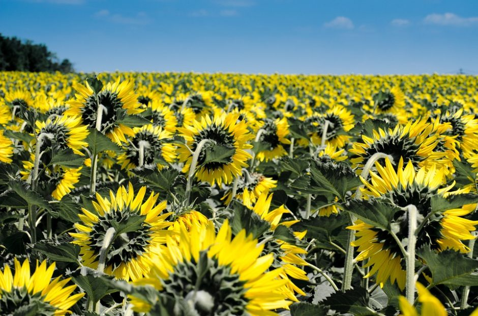 sunflower-175821_960_720
