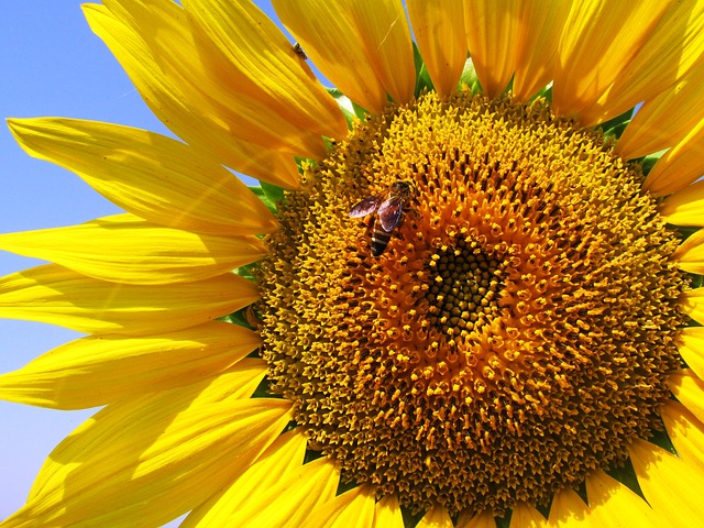 sunflower-268012_640
