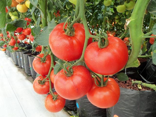 tomatoes-936520_640