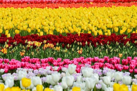 tulips-1331597_640 (1)