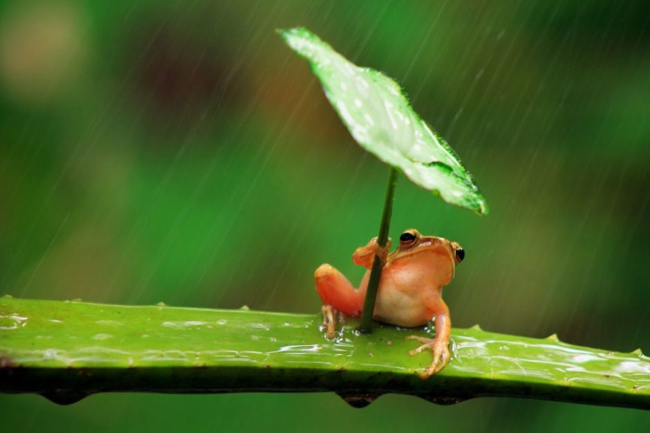 una rana con paraguas 4