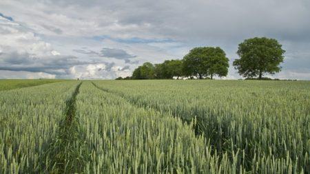 wheat-175960__340