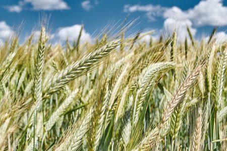 wheat-3162803_640