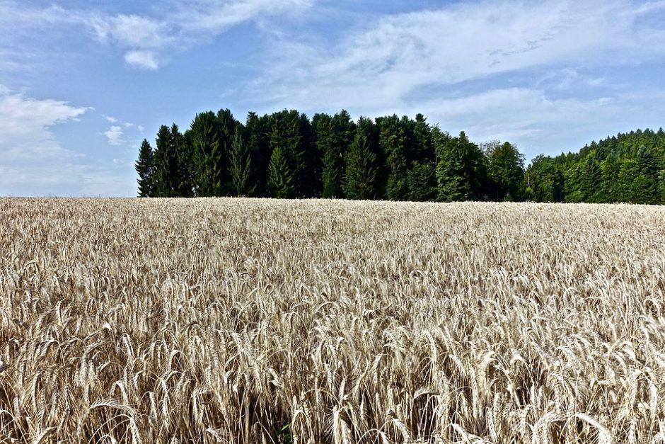 wheat-3420585_960_720