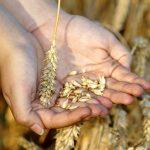 wheat-3534233_960_720