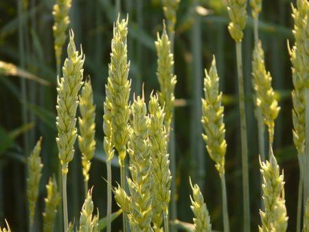 wheat-8244_640