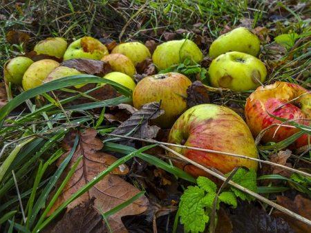 windfall-apples-2861358_960_720