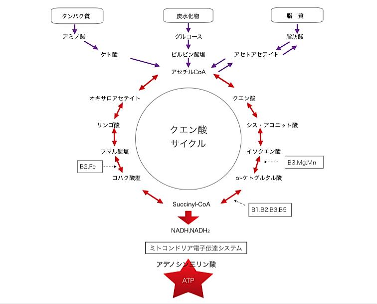 クエン酸サイクル②