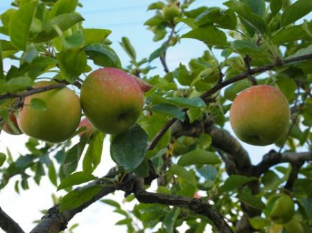 りんご木上
