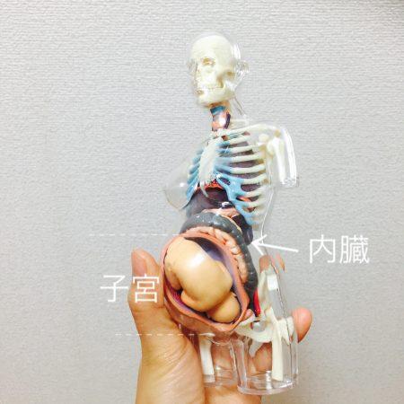 子宮と内臓の位置