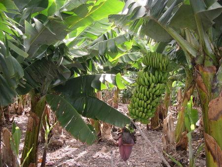 800px-Banana_plantation