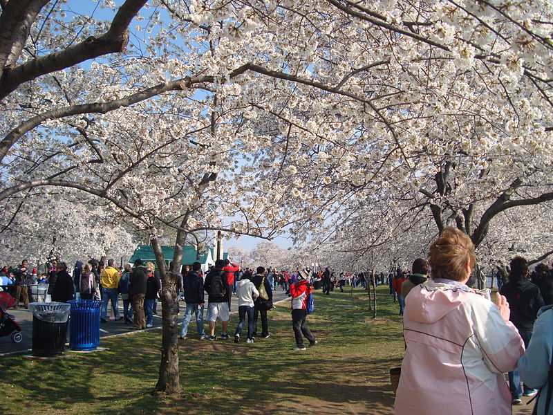 800px cherry blossom festival washington dc