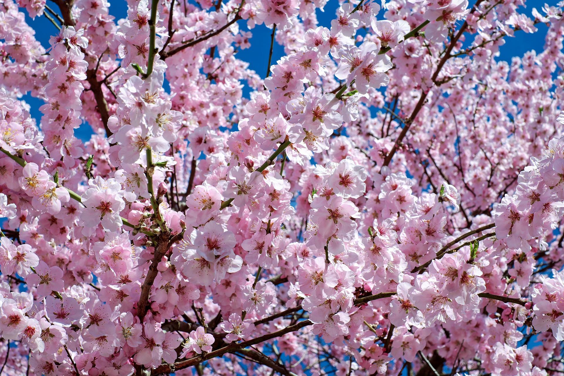 はちみつ梅 桜