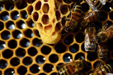女王蜂幼虫