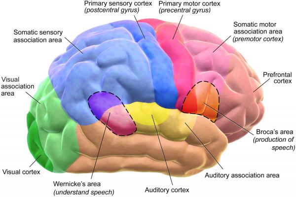 blausen 0102 brain motor&sensory (flipped) (1)