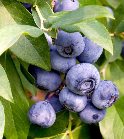 Blueberries_on_branch