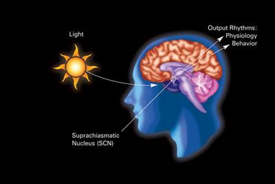 circadian rhythm labeled